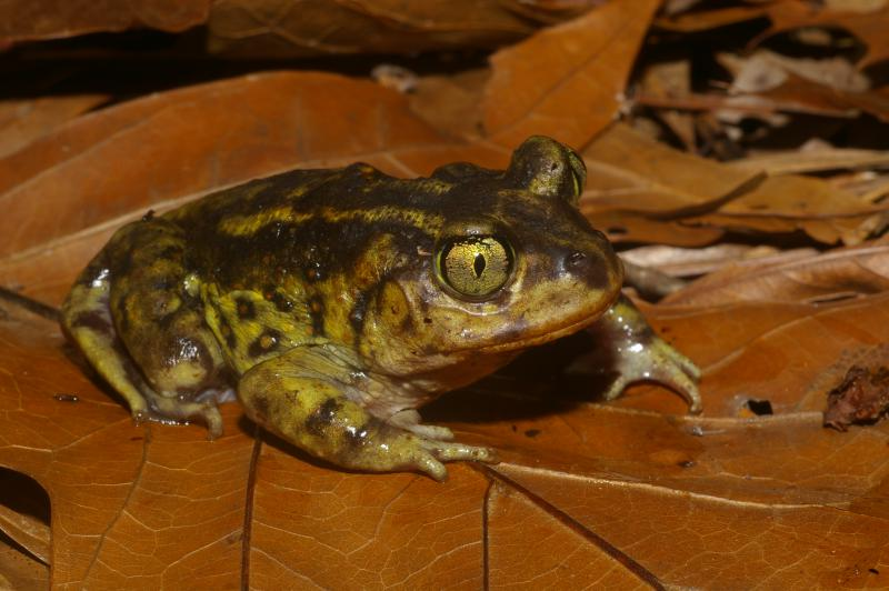 The Eastern Spadefoot toad