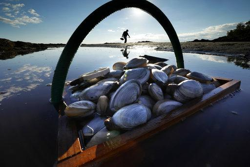 In this Sept. 2, 2016, file photo, a friend's basket of clams sit in the water as Mike Suprin, of Rollinsford, N.H., calls it a day after filling his basket with softshell clams at Cape Porpoise in Kennebunkport, Maine.