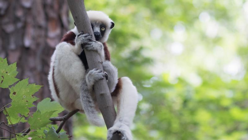 A young lemur coyly looking out from behind a tree branch at the Duke Lemur Center.
