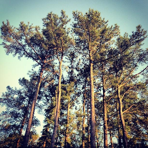 Pine trees in Chapel Hill, forest,