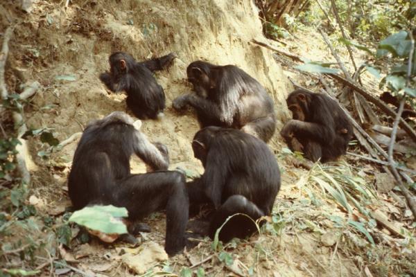gombechimpanzees.org