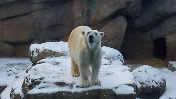 Patches the Polar Bear enjoys space to himself at the NC Zoo.