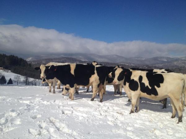 'Heifers on a windy hill in the snow, Flat Top Mtn in the background!'