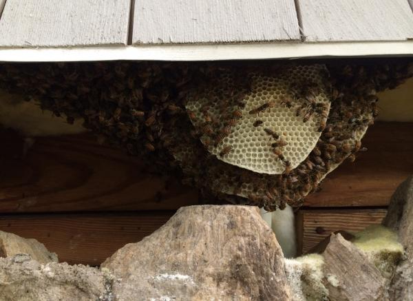 These honeybees had set up shop under the eaves of a home in Raleigh.