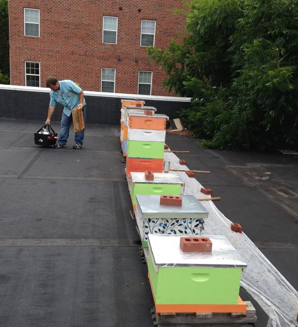 Marty hanks checks the bee hives on the roof of the Top of the Hill Distillery, Chapel Hill