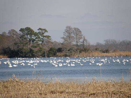 Should nc wildlife refuges grow genetically modified crops for Nc fish and wildlife