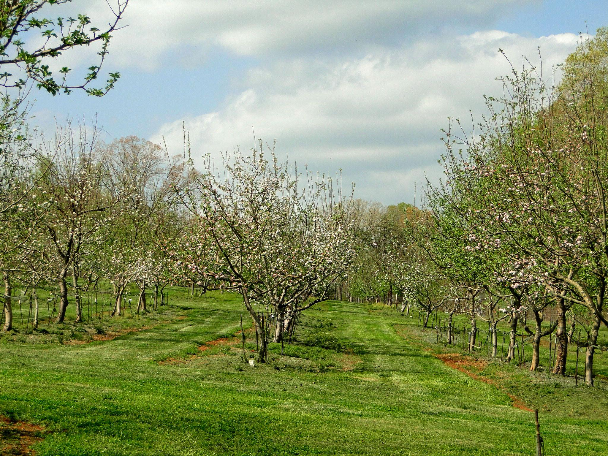 African Farmers Cultivate Apple Trees From Historic NC ...