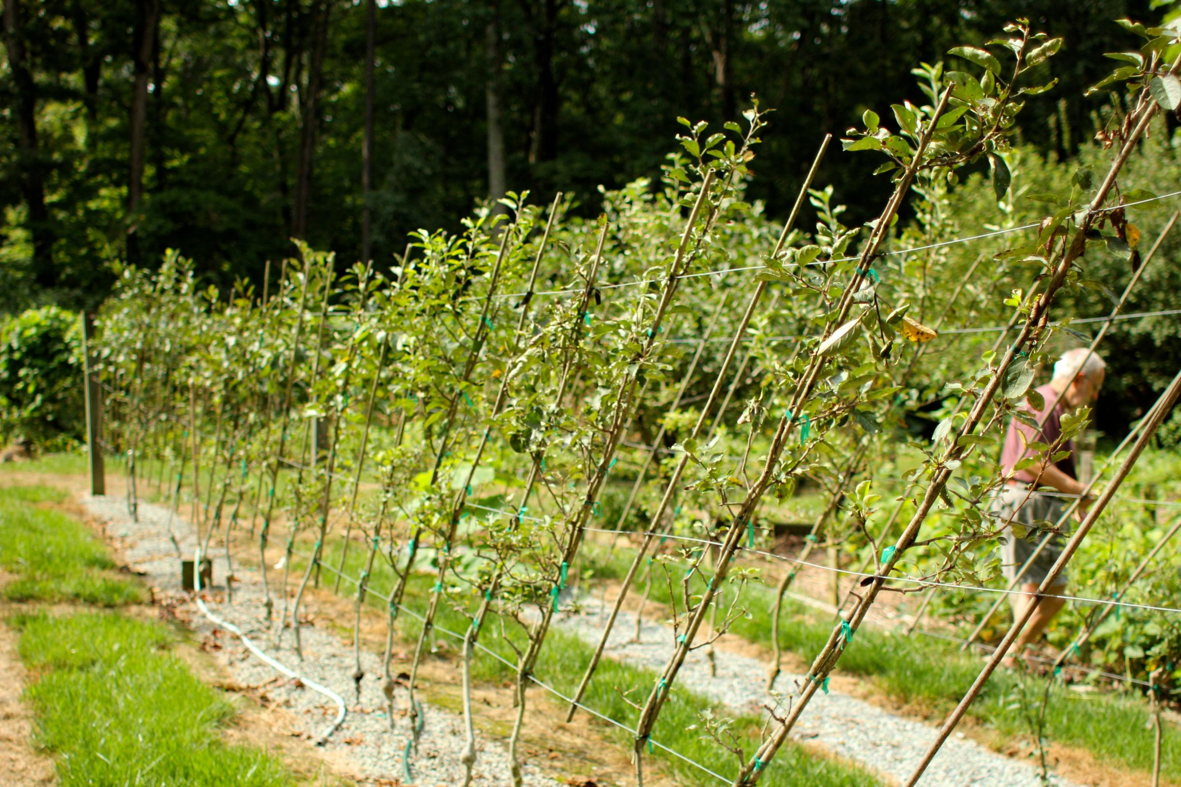How to plant the apple tree