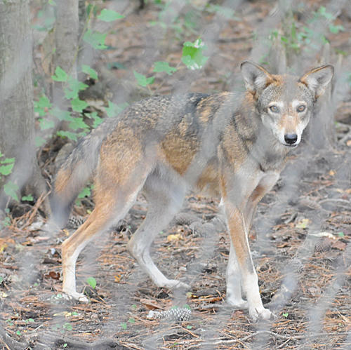 Public meetings scheduled to discuss future of red wolf for Nc fish and wildlife
