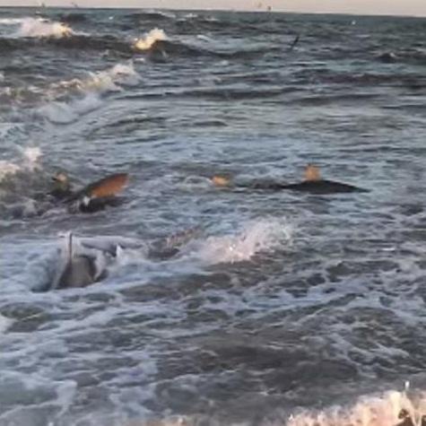 39 masses 39 of sharks near shore on carolina coast wunc for Shark fishing nc