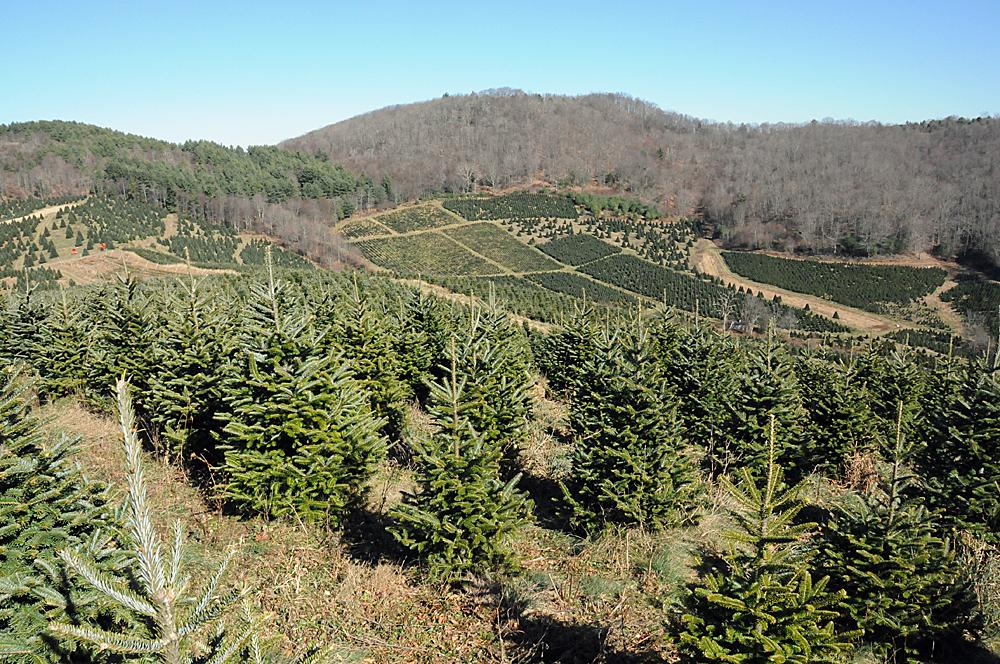 a trees life from the north carolina mountains to your living room - Christmas Tree Farms In North Carolina