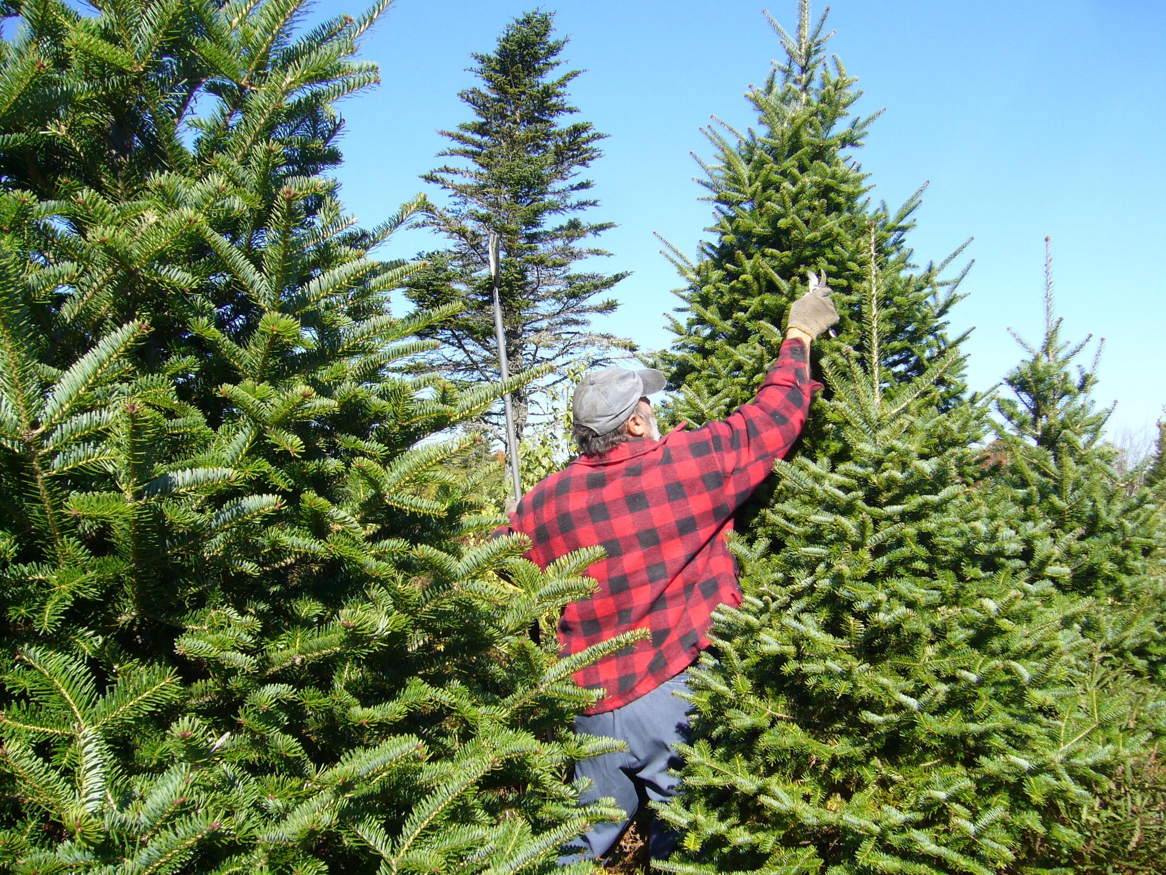 Balsam Fir Christmas Tree Pruning