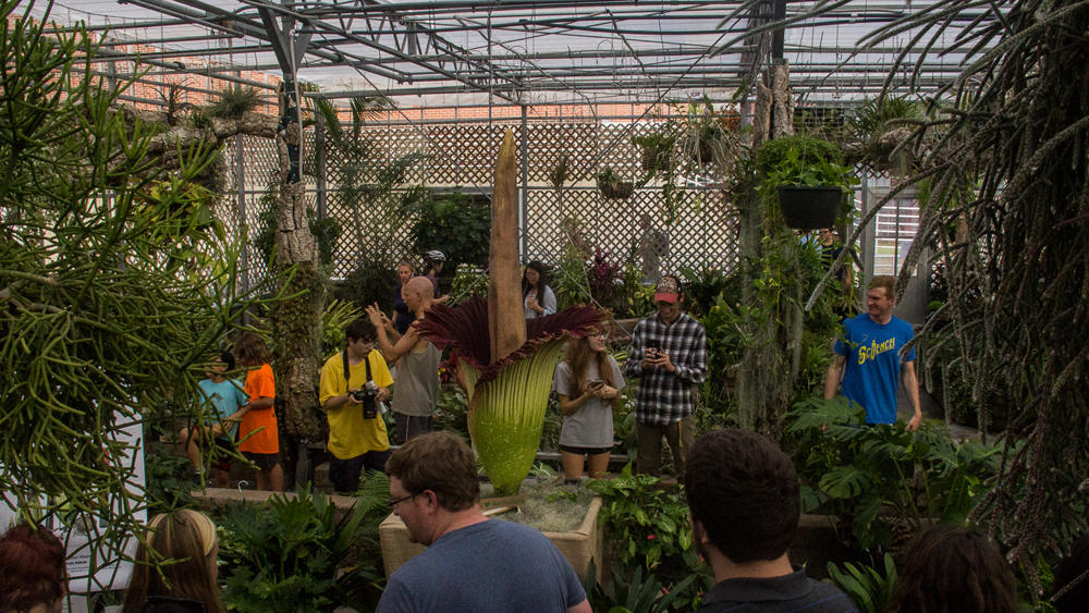 Several different people from inside and outside NC State campus came to see the corpse flower blossom over the weekend of September 24, 2016.