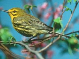 New voice recognition technology could be used to locate and track rare Smoky Mountain birds like the Prairie Warbler.