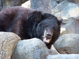 Otis (shown here), one of four black bears at the Knoxville Zoo, was sound asleep last night and oblivious to an attempted break-in by one of his wild cousins.