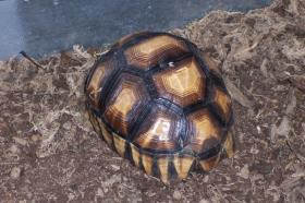 Ploughshare Tortoise at the Knoxville Zoo / Keepers often mark the shell, or carapace, to identify the animal if it is stolen and/or smuggled.