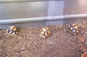 Ploughshare Tortoises at the Knoxville Zoo