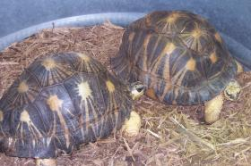 Female (left) and Male (right) Radiated Tortoises at the Knoxville Zoo