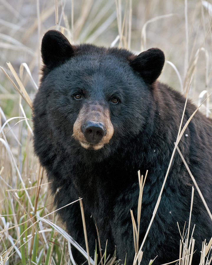 Wildlife Officials to Allow Black Bear Hunts | WUSF News - photo#8