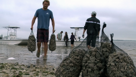 Tampa Bay Watch members and volunteers move sacks of shells to create a habitat for oysters.