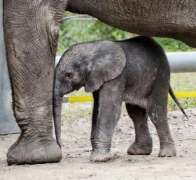 The new baby girl elephant born two days before Christmas at Tampa's Lowry Park Zoo.