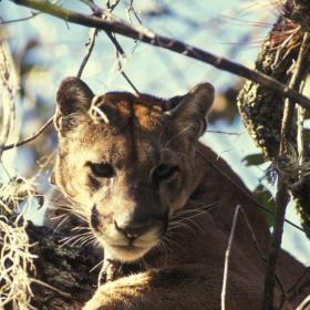 The Florida panther has been on the endangered species list since 1967.