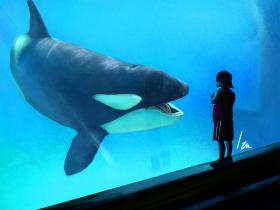 An orca at Orlando's Sea World
