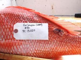 USF scientist Steven Murawski samples red snapper aboard a commercial fishing vessel in the Gulf of Mexico.  Fish are sampled for the presence of skin lesions and other pathologies, length, weight, gender and samples taken for laboratory analysis.