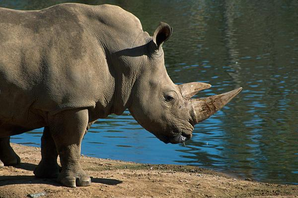 In 2010, this rhino escaped for five hours from its cage at the Jacksonville Zoo and Gardens.