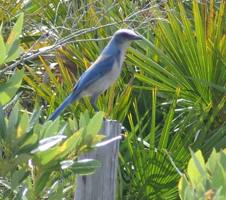 Florida Scrub Jay (click on photo to view slideshow)