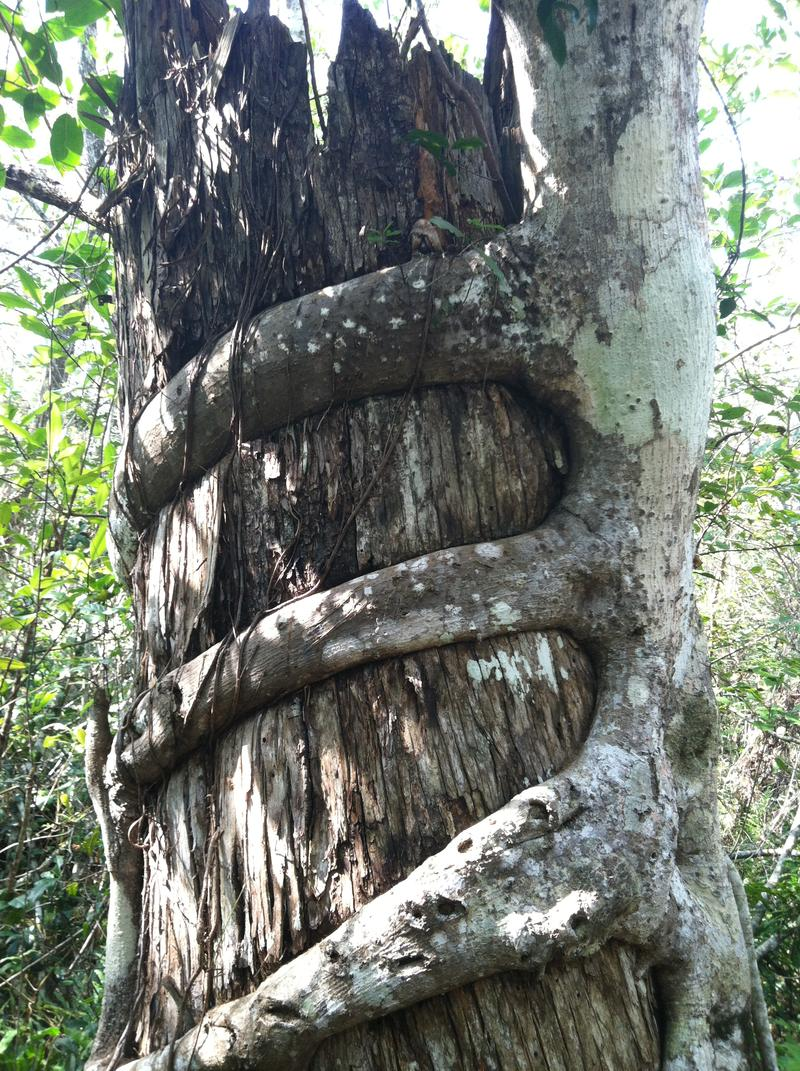 Strangler vine takes over a tree in the Fakahatchee Strand