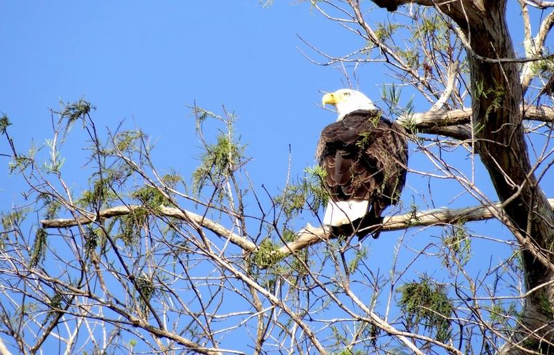 Bald eagle perched in the Fakahatchee Strand