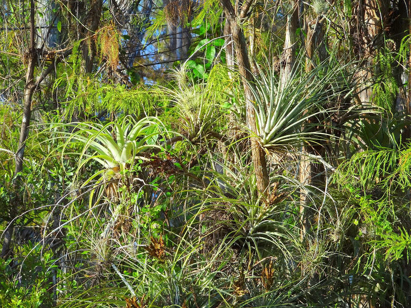 Epiphytic bromeliads