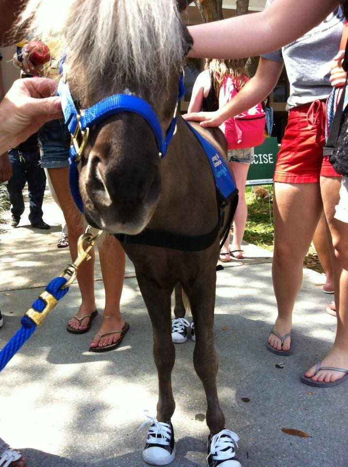 Scooby Boo, a miniature horse trained as a therapy pet, visits USF students