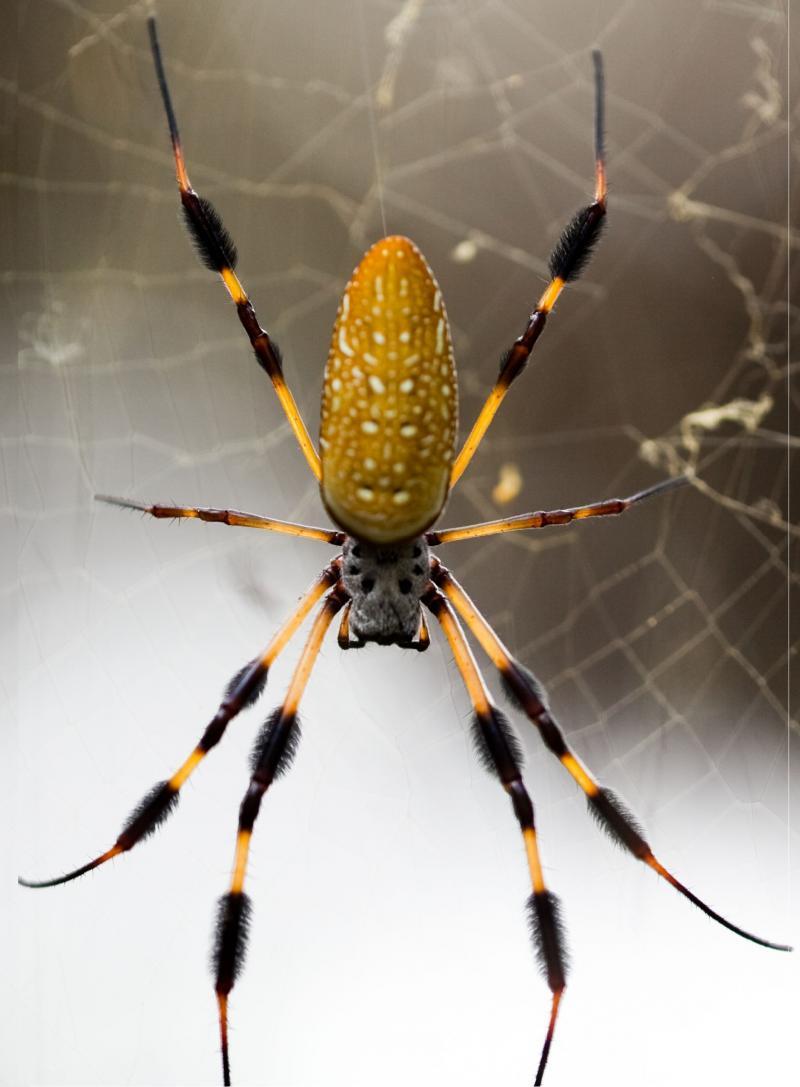 A banana spider.