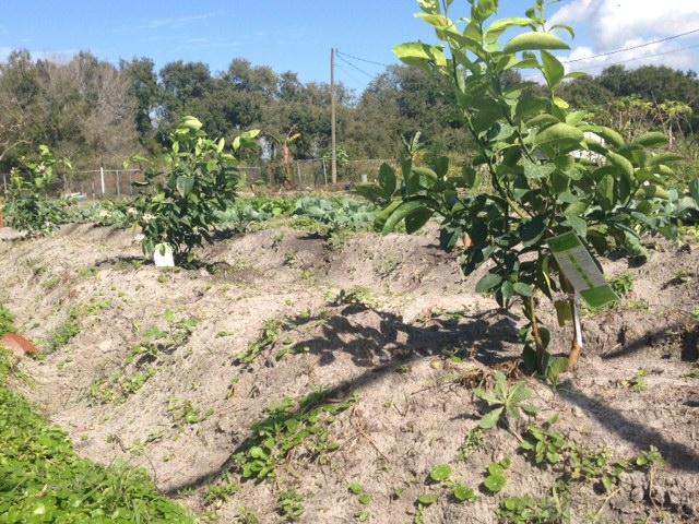 Tampa Bay Gardens is a project to allow the Burmese refugees grow their own food and supplement their income in the future.
