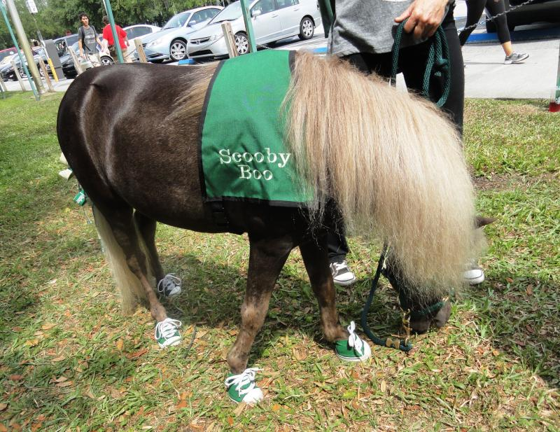Scooby-Boo, a 12 year-old mini stallion, makes a return visit to USF's Tampa campus