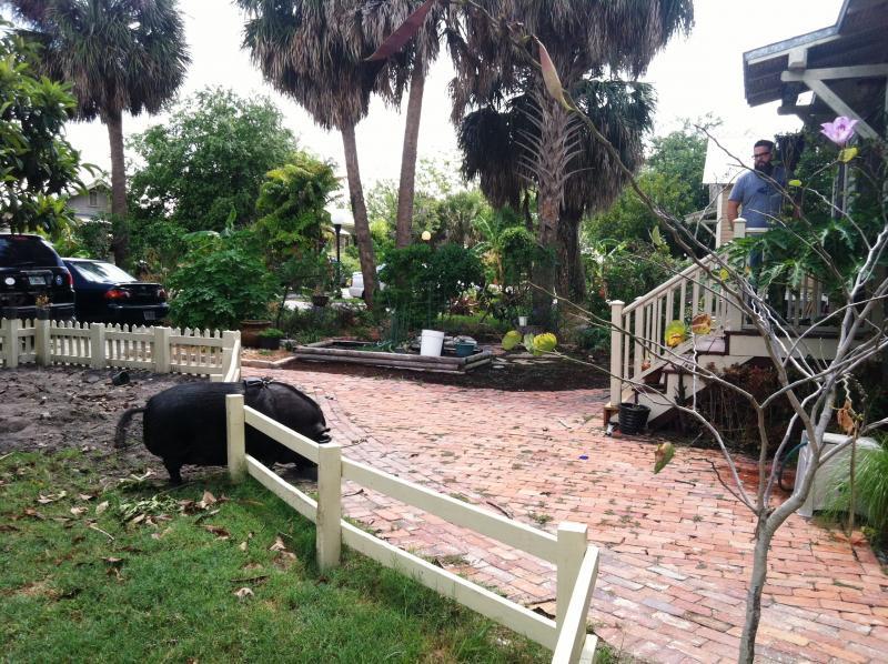 A Vietnamese pot-bellied pig grazes in the restored neighborhood