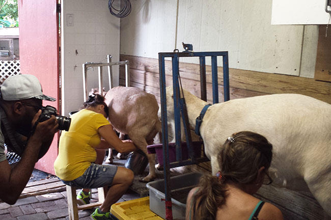 USFSP student Eric Vaughan shoots pictures of workers milking goats at the Dancing Goat Farm.