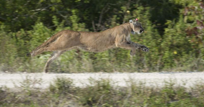 In this April 3, 2013 file photo, a Florida panther, rescued as a kitten, was released back into the wild in the Florida Everglades.