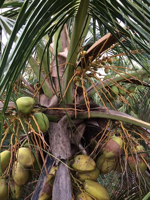 Some of the dreaded coconuts that fell on the data logging equipment of the NEWgenerator.