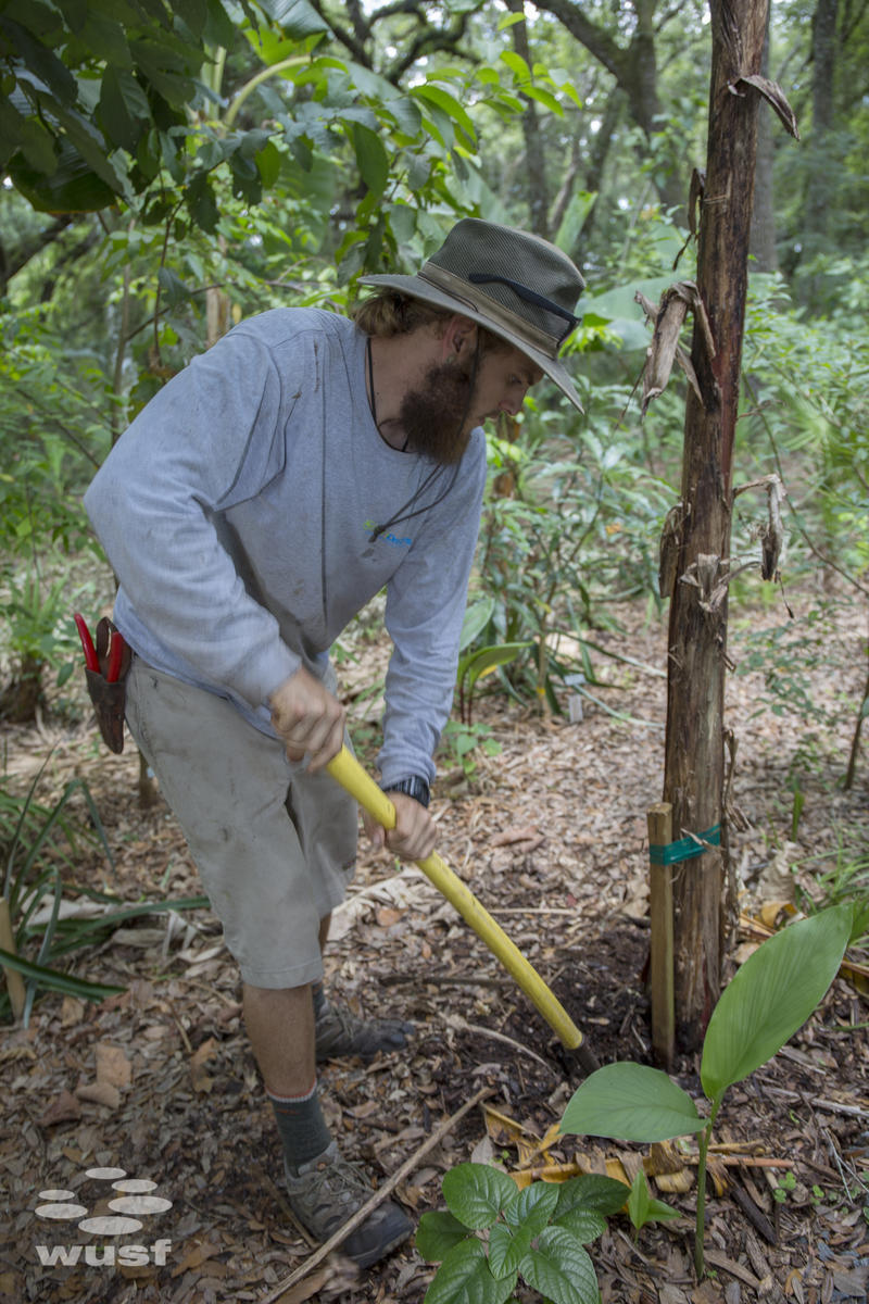 GreenDreams employee Ian Bonnes digs out an old banan tree that didn't sprout fruit.
