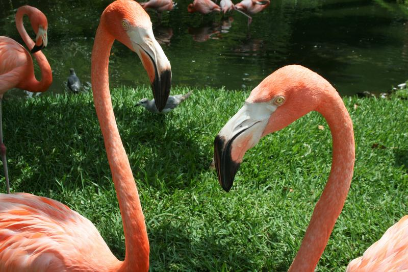 Sarasota Jungle Gardens has a flamboyance of free roaming flamingos.