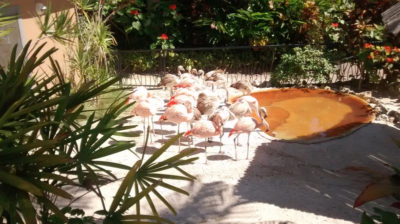The newly expanded flock of Flamingoes at Sunken Gardens