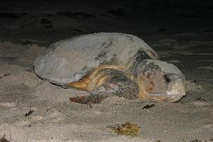Florida is one of the most important nesting grounds for loggerhead turtles. Nesting season runs May 1 to Oct. 31.