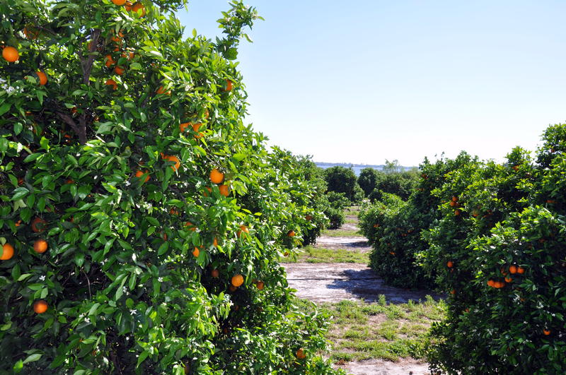 "Grower Scott Young says he used to tell his kids, ""We produce orange juice for the babies of the world."" While his passion for agriculture lives on, Young says he won't plant any new citrus trees until he sees proof treatment methods for greening work."
