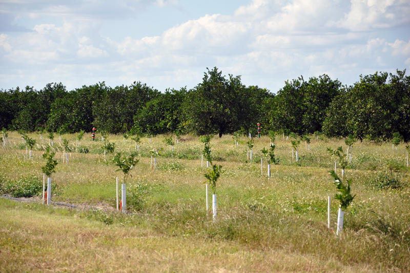 A newly planted citrus tree can take about 7 years to become harvestable.