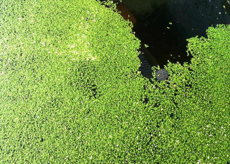 A close up of the duckweed that comprises about one-third of the tilapias' diet.