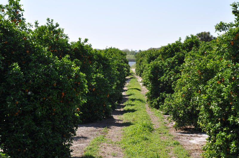 Despite battling greening for more than a decade, Mike Sparks with Florida Citrus Mutual says the citrus industry still generates about $10 billion in annual economic activity.