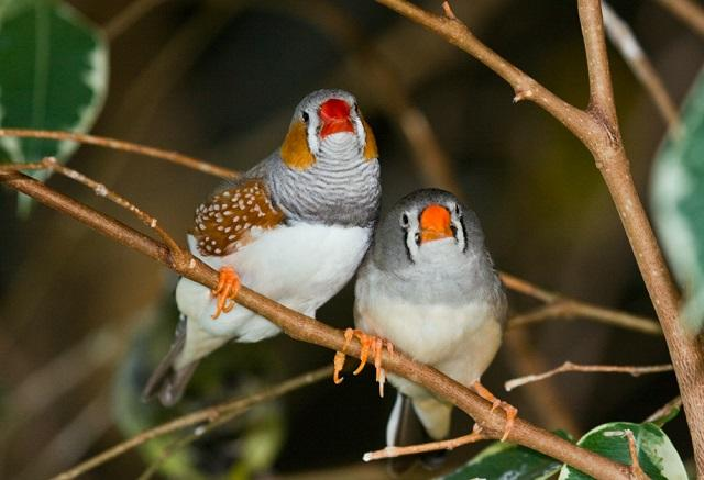 A pair of zebra finches at Bird Kingdom in Ontario, Canada. Similar birds died during research into the West Nile Virus at USF.